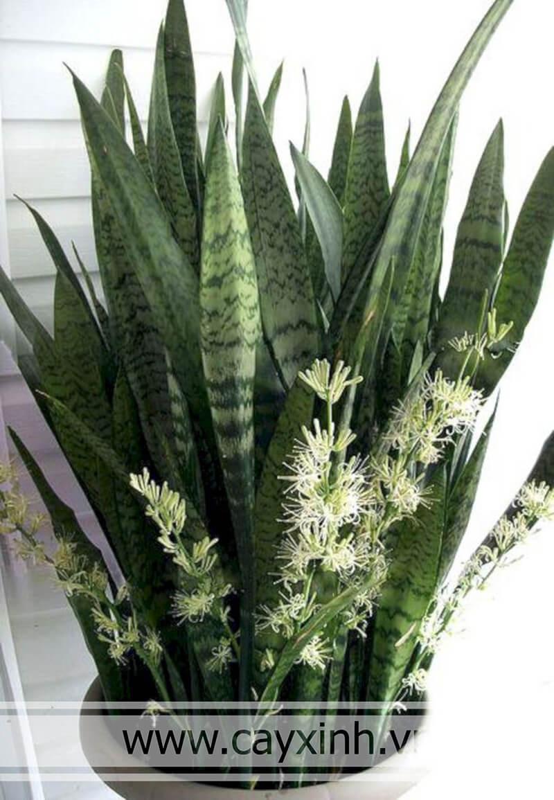 cây lưỡi hổ ra hoa