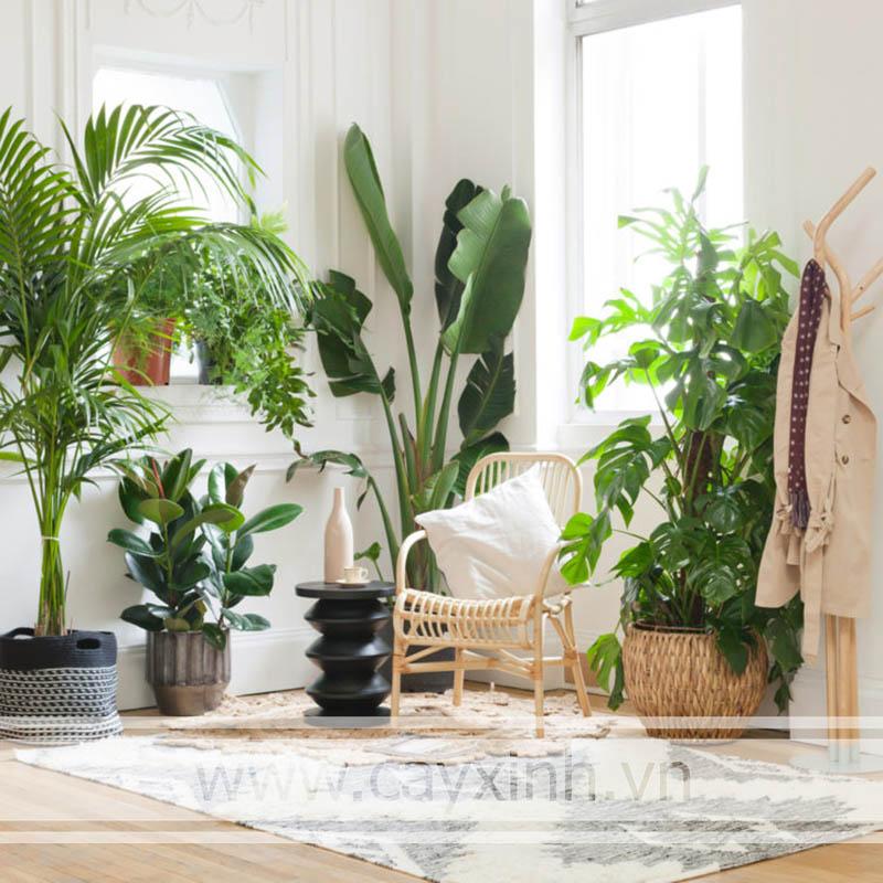 cây phong thủy trong nhà