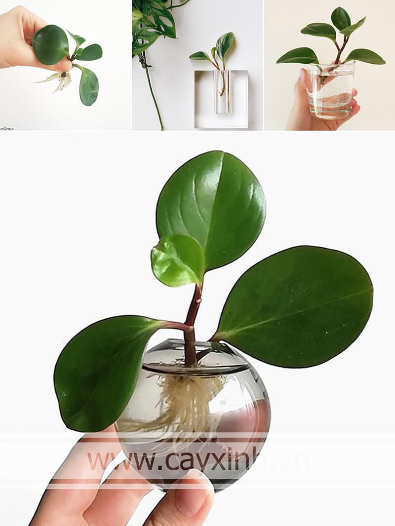 cây trường sinh có thể trồng trong môi trường thủy sinh