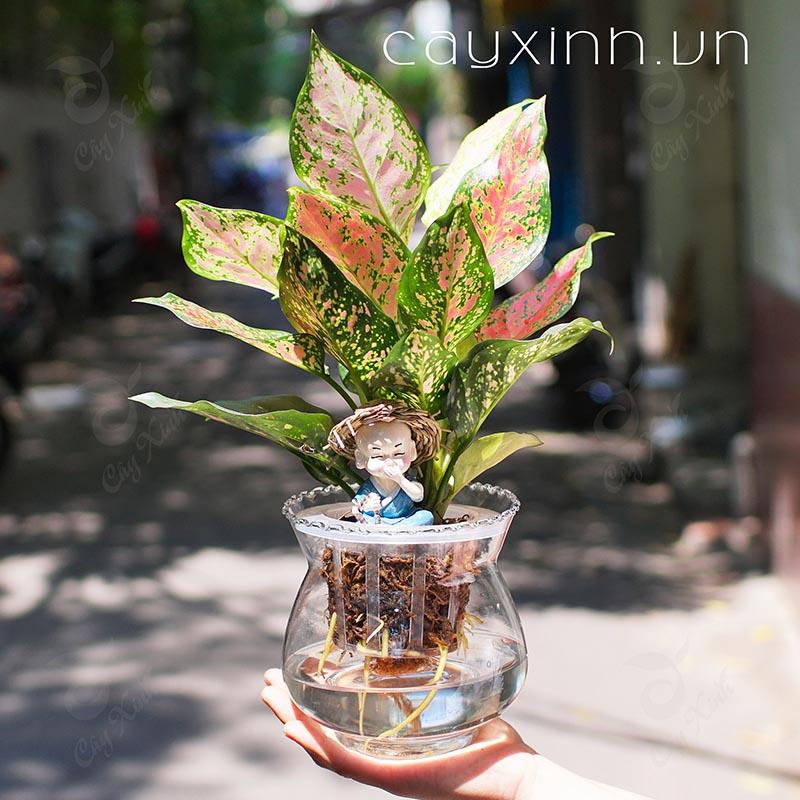 trồng cây cảnh thủy canh