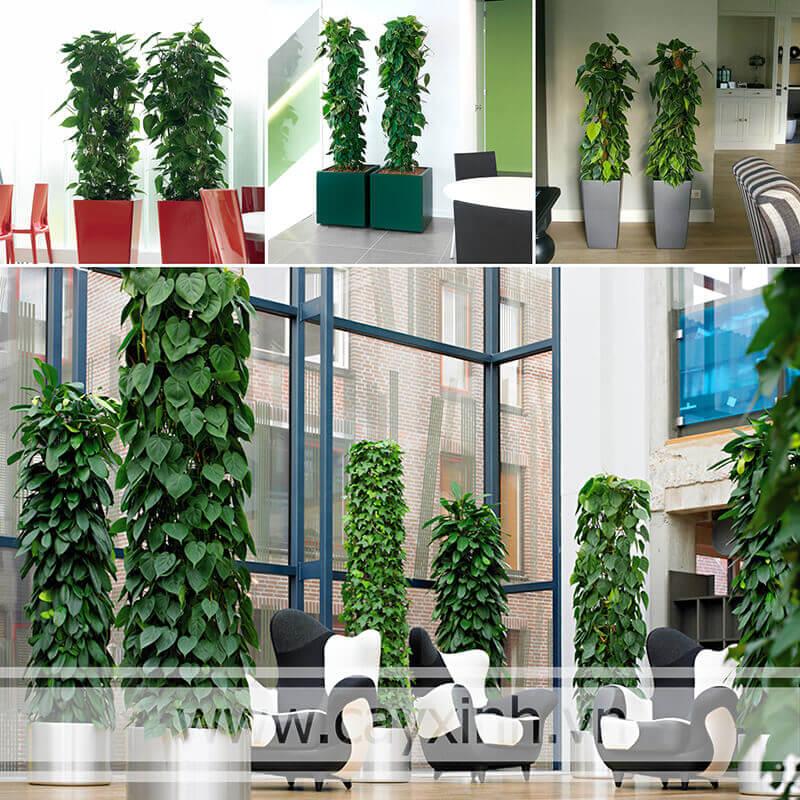 cách trồng cây vạn niên thanh leo