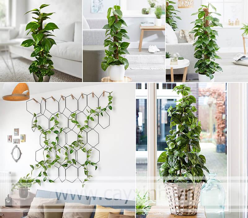 cây Vạn Niên Thanh có khả năng thanh lọc không khí tốt