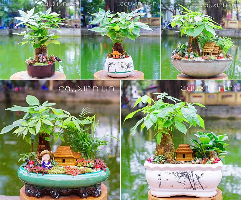 Cây Phong Thủy