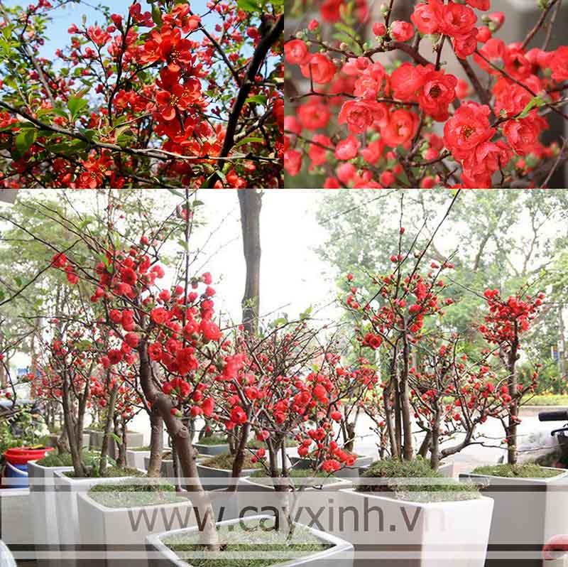 hình ảnh cây mai ngày tết