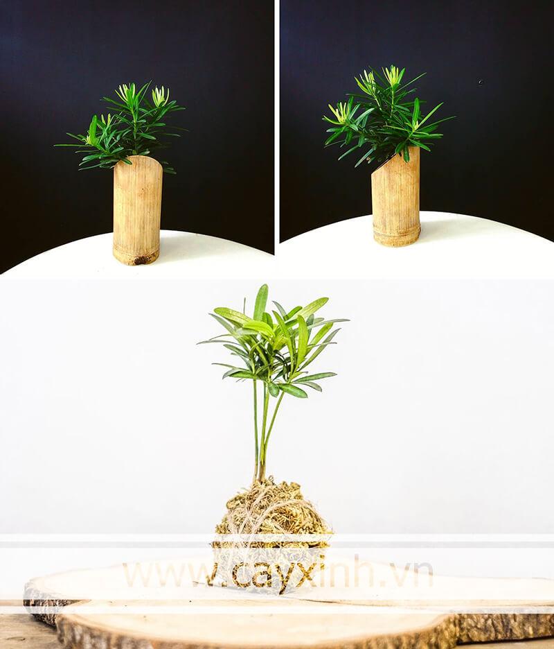 cây Tùng La Hán phong thủy