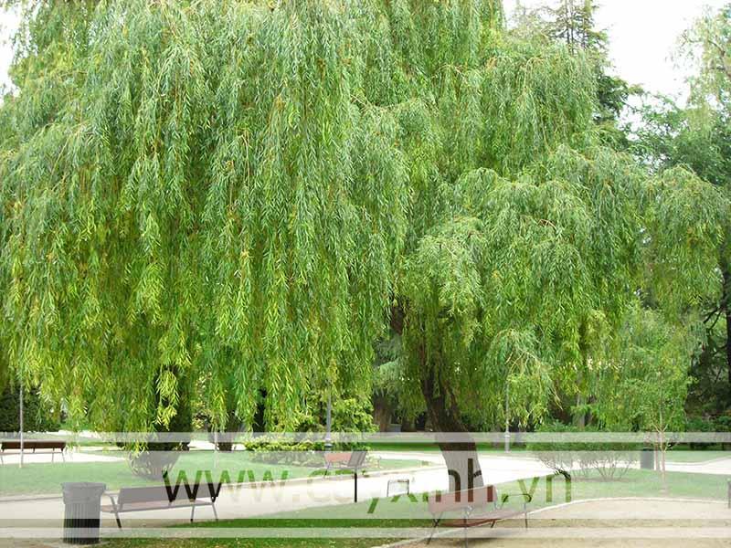 cây kiêng kị trồng trước nhà