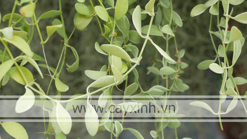 cây hạt dưa