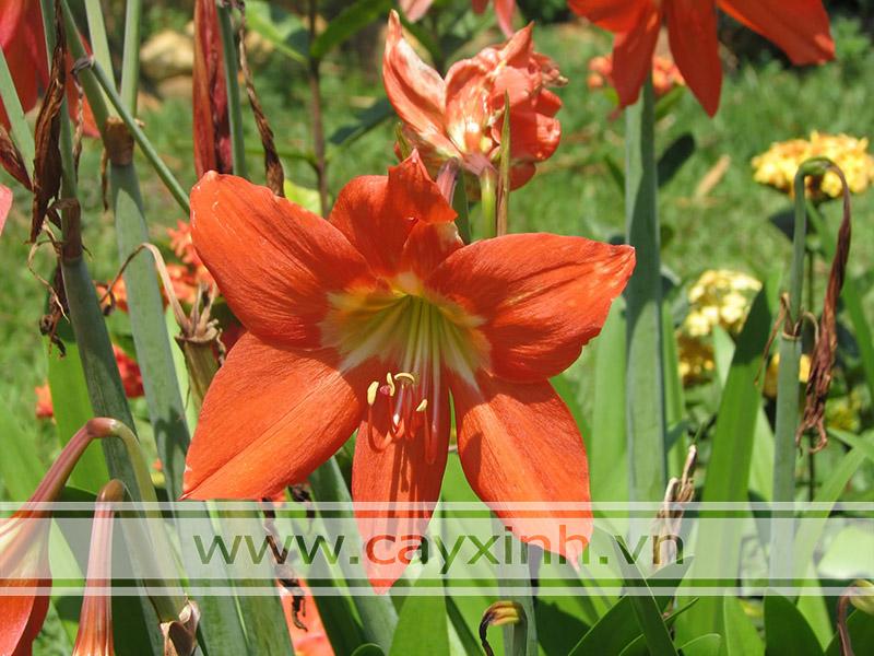 cây hoa huệ lily không nên trồng trong nhà