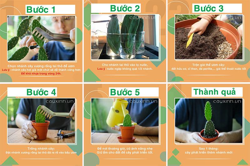 trồng cây xương rồng tai thỏ