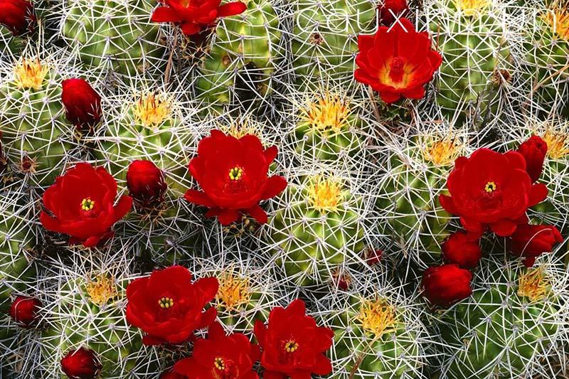 xương rồng nở hoa