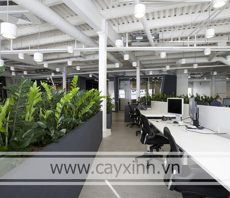 cây kim tiền trồng trong văn phòng