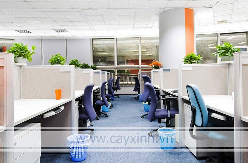 cây vạn niên thanh trồng trong văn phòng