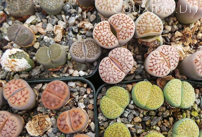 trồng sen đá thạch lan