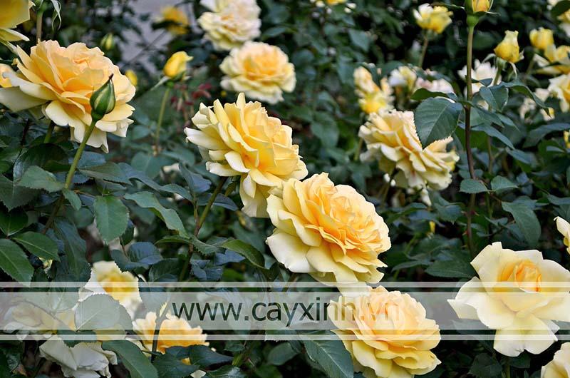 lá hoa hồng leo
