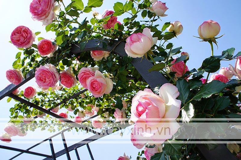 chăm sóc hoa hồng leo