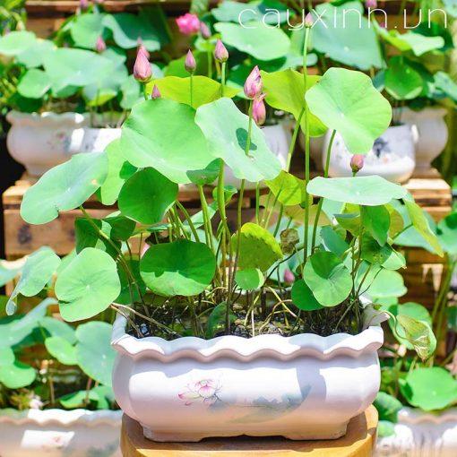 trồng sen mini nhật trong chậu