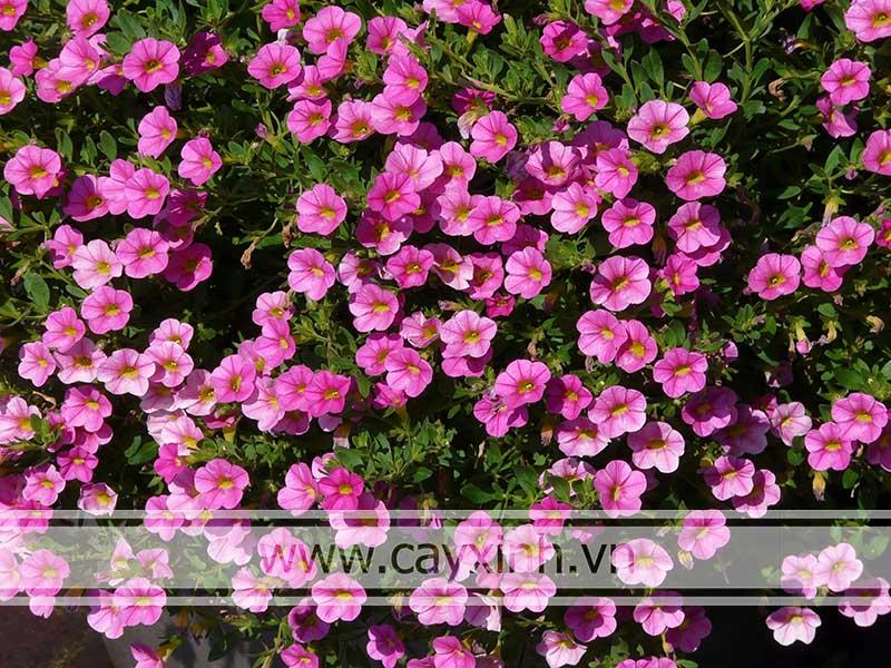 hoa mang ý nghĩa đặc biệt