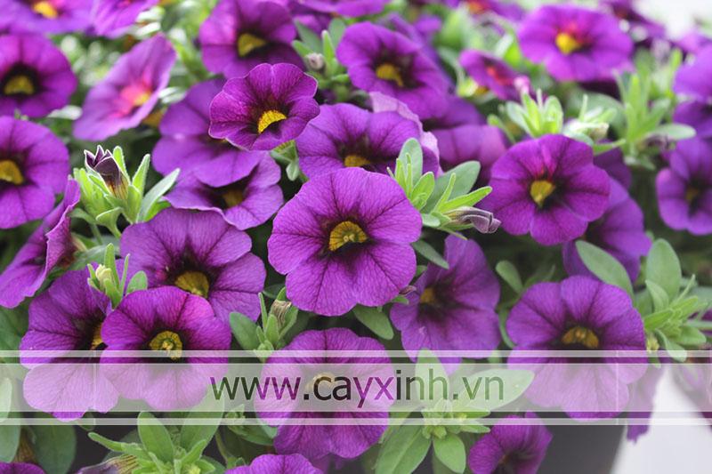 trồng hoa triệu chuông
