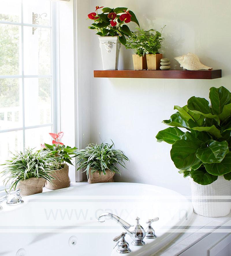 nhà tắm nên trồng cây gì