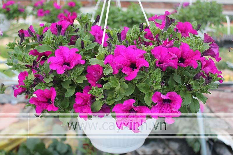 cash trồng hoa dạ yến thảo