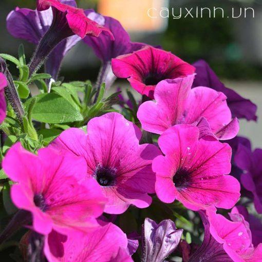 hoa dạ yến thảo 3