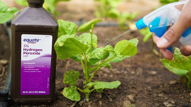 sử dụng nước oxy già cho cây trồng